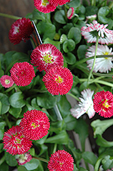 Bellisima™ Red English Daisy (Bellis perennis 'Bellissima Red') at Schaefer Greenhouses