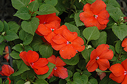 Super Elfin® Bright Orange Impatiens (Impatiens walleriana 'Super Elfin Bright Orange') at Schaefer Greenhouses