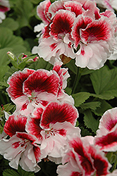 Elegance™ Crystal Rose Geranium (Pelargonium 'Elegance Crystal Rose') at Schaefer Greenhouses