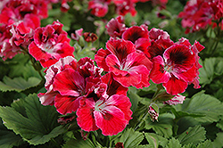 Elegance™ Red Velvet Geranium (Pelargonium 'Elegance Red Velvet') at Schaefer Greenhouses