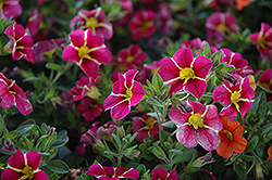 Superbells® Cherry Star Calibrachoa (Calibrachoa 'Superbells Cherry Star') at Schaefer Greenhouses