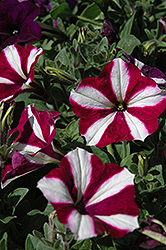 Easy Wave Burgundy Star Petunia (Petunia 'Easy Wave Burgundy Star') at Schaefer Greenhouses