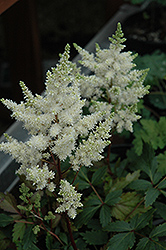 Younique White Astilbe (Astilbe 'Verswhite') at Schaefer Greenhouses