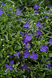 Riviera Midnight Blue Lobelia (Lobelia erinus 'Riviera Midnight Blue') at Schaefer Greenhouses