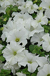 Dreams White Petunia (Petunia 'Dreams White') at Schaefer Greenhouses