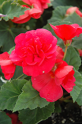 Nonstop® Rose Pink Begonia (Begonia 'Nonstop Rose Pink') at Schaefer Greenhouses