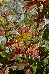 Amber Jubilee™ Ninebark (Physocarpus opulifolius 'Jefam') at Schaefer Greenhouses