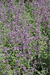 Little Trudy Catmint (Nepeta 'Psfike') at Schaefer Greenhouses