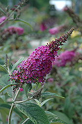 Miss Ruby Butterfly Bush (Buddleia davidii 'Miss Ruby') at Schaefer Greenhouses