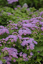 Artist Blue Flossflower (Ageratum 'Artist Blue') at Schaefer Greenhouses