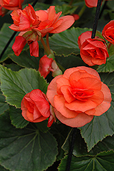 Solenia® Orange Begonia (Begonia 'Solenia Orange') at Schaefer Greenhouses