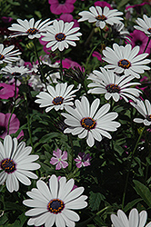 Soprano White African Daisy (Osteospermum 'Soprano White') at Schaefer Greenhouses