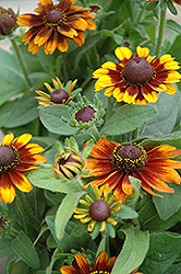 Rustic Colors Coneflower (Rudbeckia hirta 'Rustic Colors') at Schaefer Greenhouses