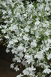 Techno® Heat White Lobelia (Lobelia erinus 'Techno Heat White') at Schaefer Greenhouses