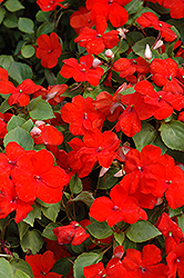 Super Elfin® XP Scarlet Impatiens (Impatiens walleriana 'Super Elfin XP Scarlet') at Schaefer Greenhouses