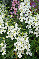Serena White Angelonia (Angelonia angustifolia 'Serena White') at Schaefer Greenhouses