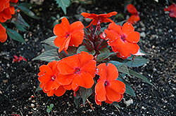 Infinity® Orange New Guinea Impatiens (Impatiens hawkeri 'Infinity Orange') at Schaefer Greenhouses