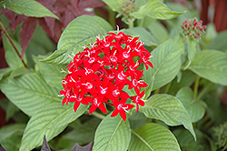 Graffiti® Red Lace Star Flower (Pentas lanceolata 'Graffiti Red Lace') at Schaefer Greenhouses