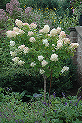 Limelight Hydrangea (tree form) (Hydrangea paniculata 'Limelight (tree form)') at Schaefer Greenhouses