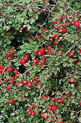 Cranberry Cotoneaster (Cotoneaster apiculatus) at Schaefer Greenhouses