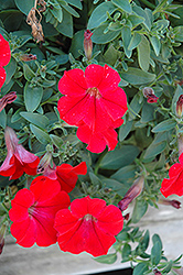 Surfinia® Red Petunia (Petunia 'Surfinia Red') at Schaefer Greenhouses