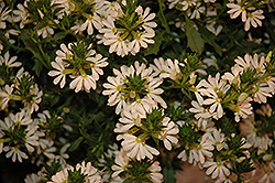 Whirlwind® White Fan Flower (Scaevola aemula 'Whirlwind White') at Schaefer Greenhouses