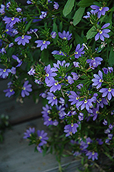 Whirlwind® Blue Fan Flower (Scaevola aemula 'Whirlwind Blue') at Schaefer Greenhouses