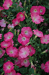 Easy Wave Rosy Dawn Petunia (Petunia 'Easy Wave Rosy Dawn') at Schaefer Greenhouses