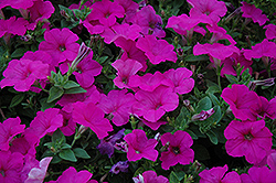 Easy Wave Neon Rose Petunia (Petunia 'Easy Wave Neon Rose') at Schaefer Greenhouses
