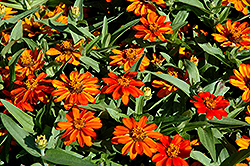 Profusion Orange Zinnia (Zinnia 'Profusion Orange') at Schaefer Greenhouses