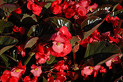 Whopper® Rose Bronze Leaf Begonia (Begonia 'Whopper Rose Bronze Leaf') at Schaefer Greenhouses