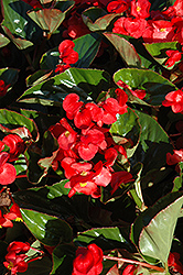 Whopper® Red Green Leaf Begonia (Begonia 'Whopper Red Green Leaf') at Schaefer Greenhouses