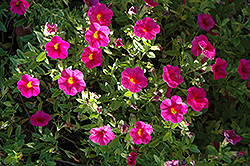 Superbells® Cherry Red Calibrachoa (Calibrachoa 'Superbells Cherry Red') at Schaefer Greenhouses