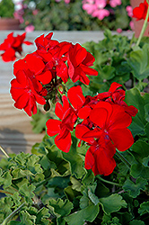 Calliope® Scarlet Fire Geranium (Pelargonium 'Calliope Scarlet Fire') at Schaefer Greenhouses