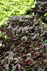 Black Scallop Bugleweed (Ajuga reptans 'Black Scallop') at Schaefer Greenhouses