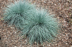 Beyond Blue™ Blue Fescue (Festuca glauca 'Casca11') at Schaefer Greenhouses