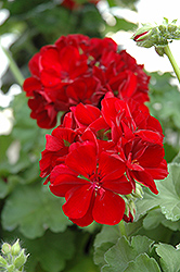 Calliope® Burgundy Geranium (Pelargonium 'Calliope Burgundy') at Schaefer Greenhouses