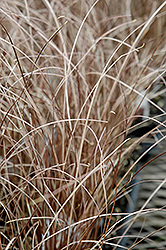Leatherleaf Sedge (Carex buchananii) at Schaefer Greenhouses