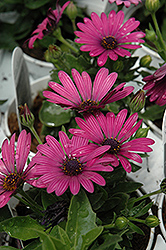 Soprano Purple African Daisy (Osteospermum 'Soprano Purple') at Schaefer Greenhouses