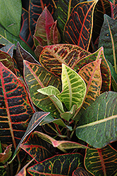 Variegated Croton (Codiaeum variegatum 'var. pictum') at Schaefer Greenhouses