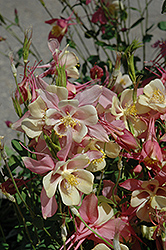 Swan Pink and Yellow Columbine (Aquilegia caerulea 'Swan Pink and Yellow') at Schaefer Greenhouses