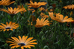 Orange Symphony African Daisy (Osteospermum 'Orange Symphony') at Schaefer Greenhouses