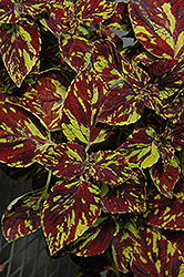 Splish Splash Coleus (Solenostemon scutellarioides 'Splish Splash') at Schaefer Greenhouses