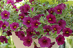 Superbells® Plum Calibrachoa (Calibrachoa 'Superbells Plum') at Schaefer Greenhouses
