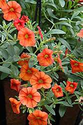 Superbells® Dreamsicle Calibrachoa (Calibrachoa 'Superbells Dreamsicle') at Schaefer Greenhouses