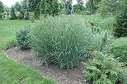 Heavy Metal Blue Switch Grass (Panicum virgatum 'Heavy Metal') at Schaefer Greenhouses