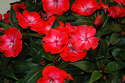 Infinity® Electric Coral New Guinea Impatiens (Impatiens hawkeri 'Infinity Electric Coral') at Schaefer Greenhouses