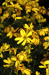 Electric Avenue Tickseed (Coreopsis verticillata 'Electric Avenue') at Schaefer Greenhouses
