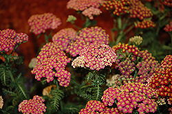 New Vintage Rose Yarrow (Achillea millefolium 'Balvinrose') at Schaefer Greenhouses