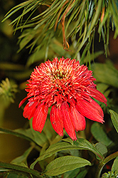 Double Scoop™ Cranberry Coneflower (Echinacea 'Balscanery') at Schaefer Greenhouses